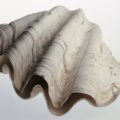 conchiglie-Tridacna-gigas-museo-malacologico-piceno