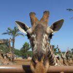 Giraffa allo zoo Safari